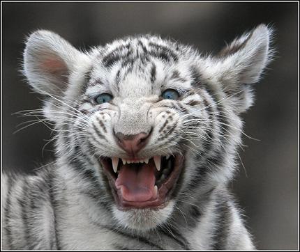 Как встретить Новый 2010 год. Год Белого Тигра.