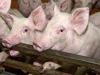 Пандемия Свиного Гриппа Может Продлиться от Полутора до Двух Лет