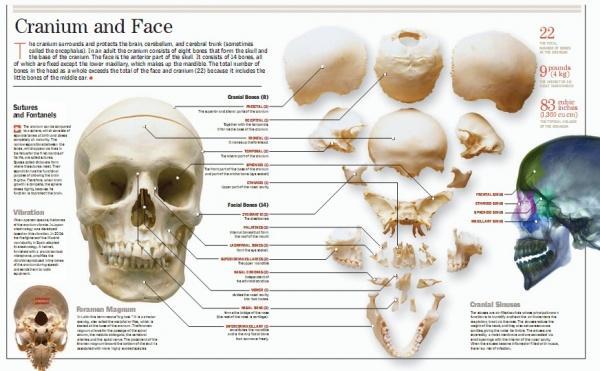Человеческого тело - Britanica Illustrated