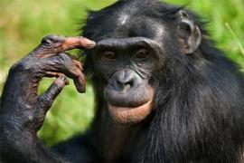 Ученые обнаружили еще одно сходство между человеком и шимпанзе