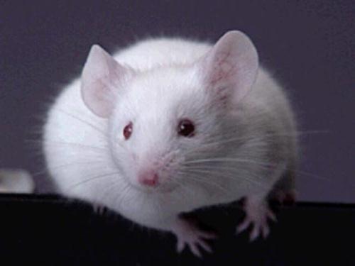 Мышь-мутант восстанавливает себя сама